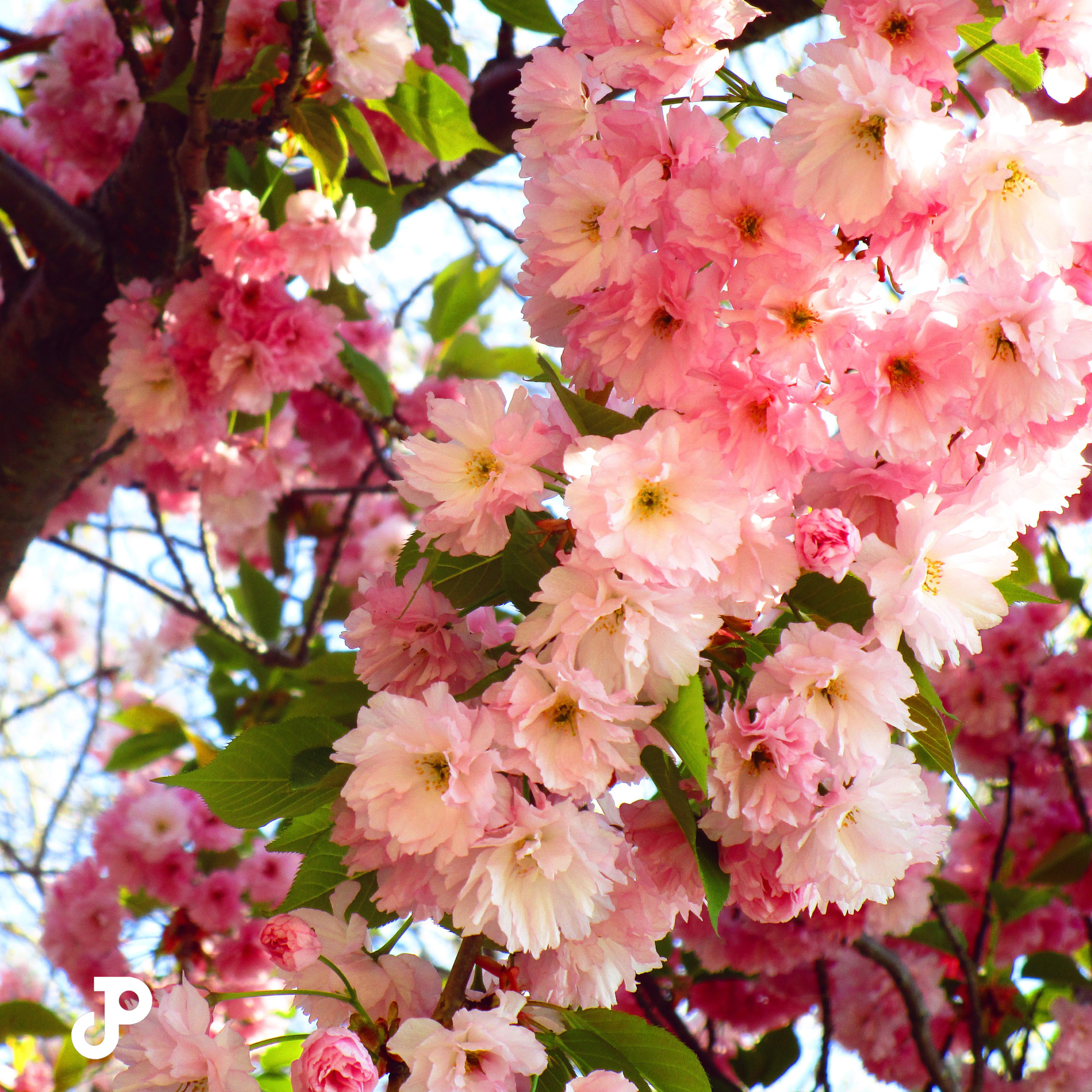 a tree branch covered in pink cherry blossoms