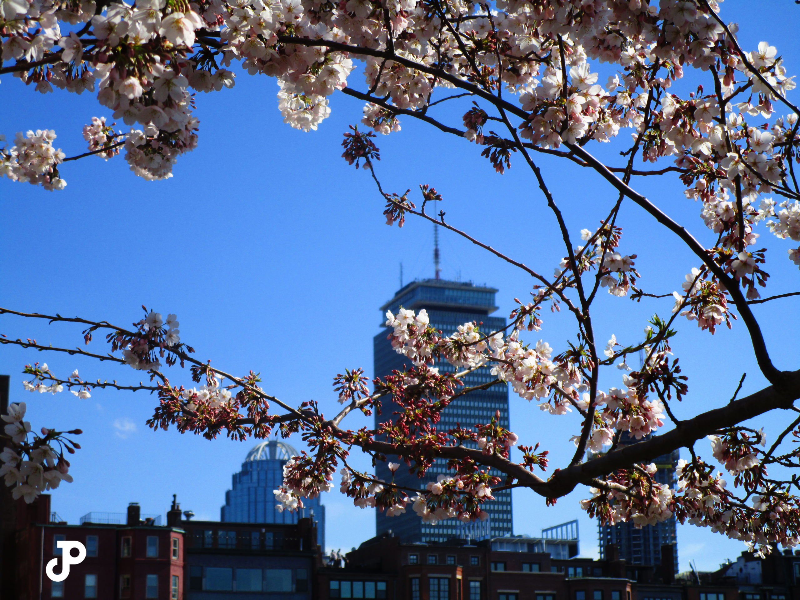 the Prudential building in the distance, seen between branches of cherry blossoms in the foreground