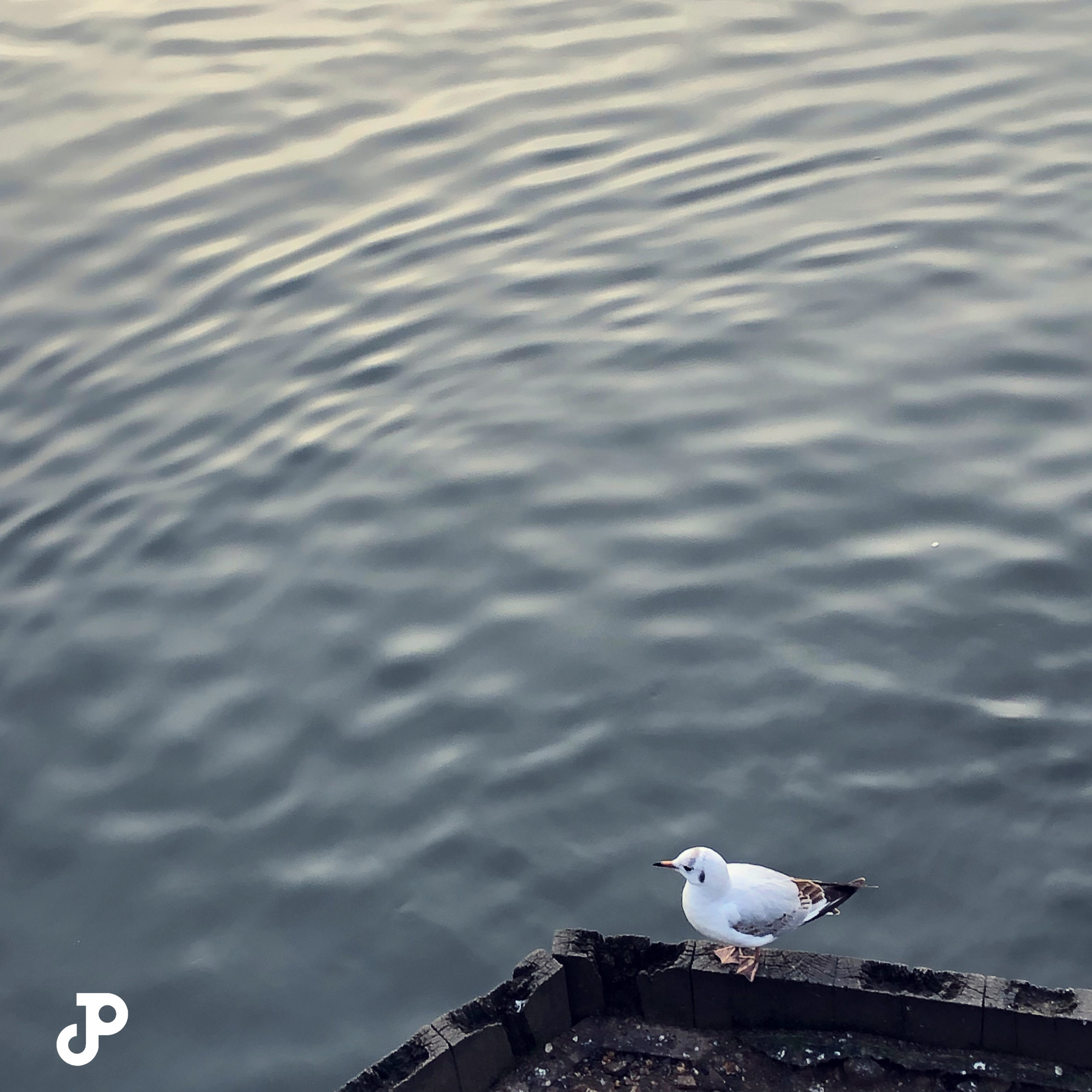 a small seagull perched on a wooden plank above the River Thames in Kingston Upon Thames