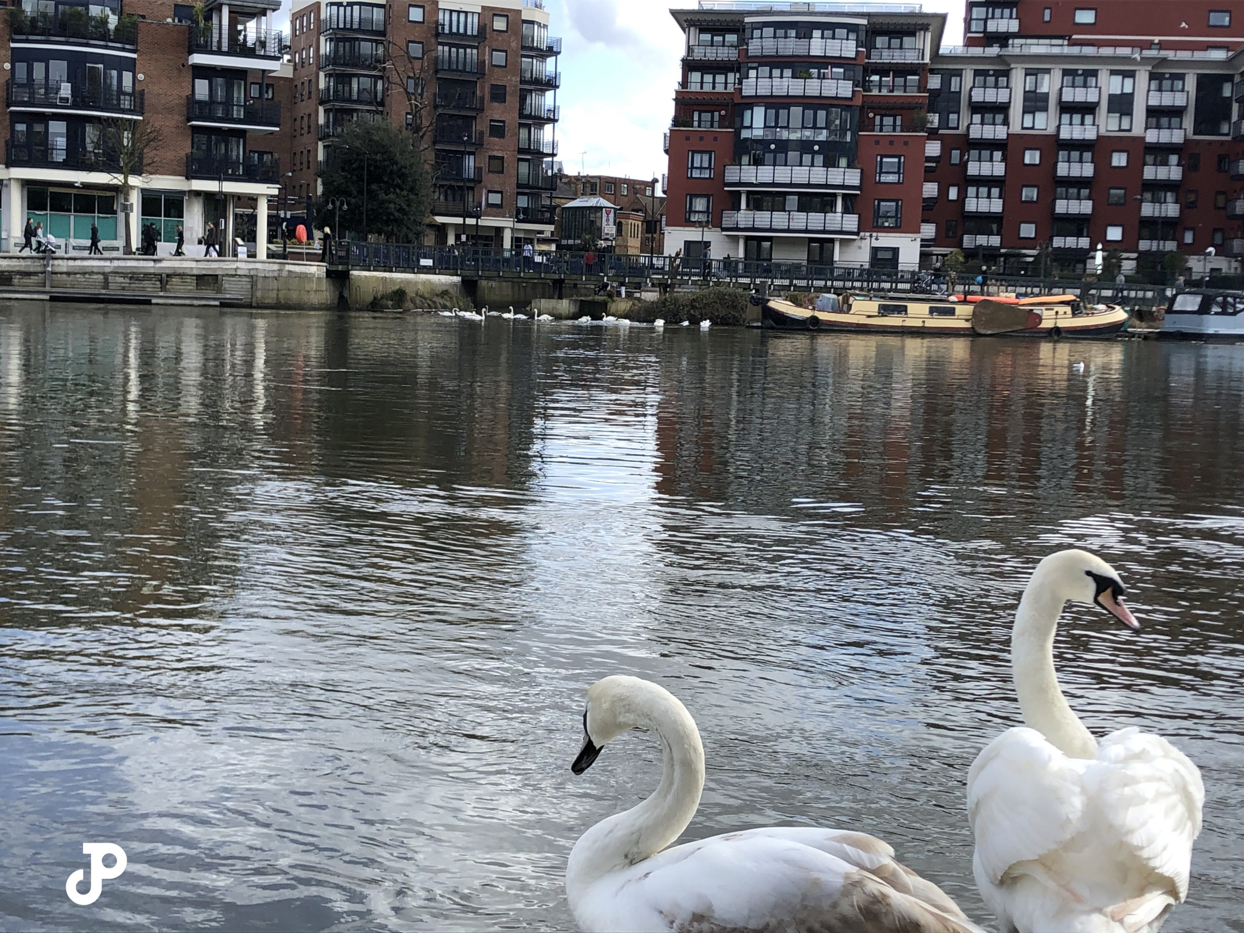 two swans standing before the River Thames with the opposite bank visible in the distance