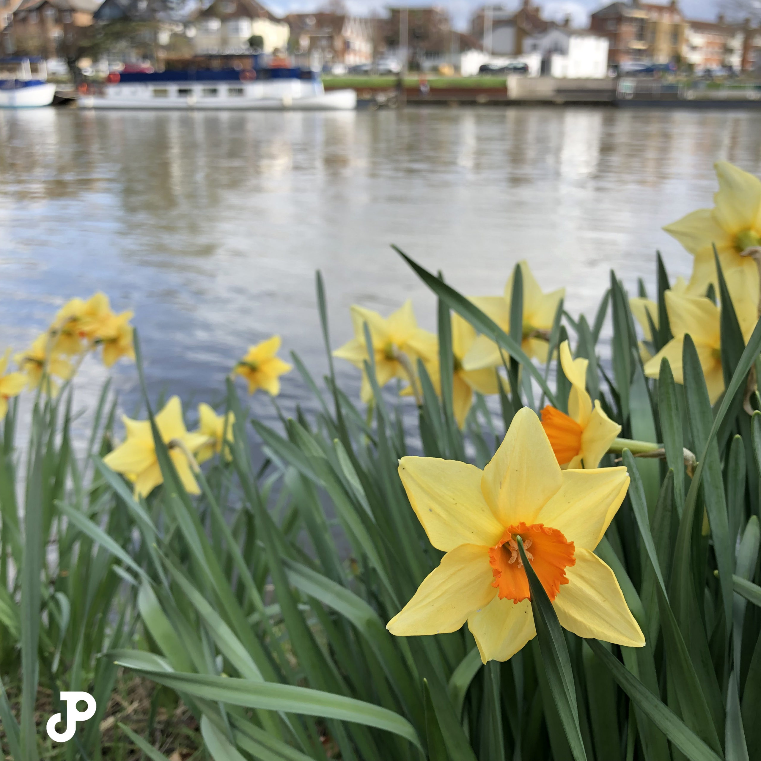 daffodils on a bank of the River Thames in Kingston Upon Thames