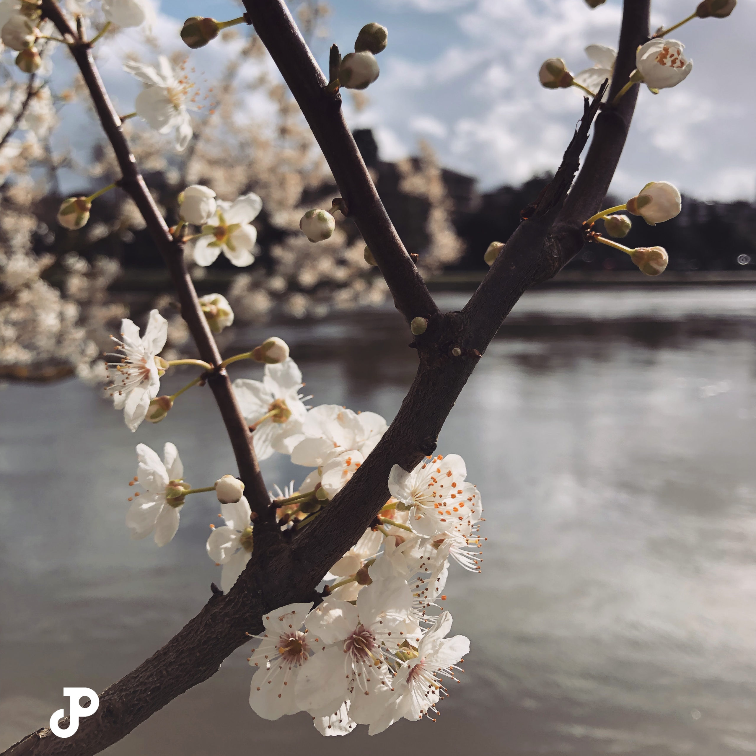 cherry blossoms with the River Thames in the Background in Kingston Upon Thames