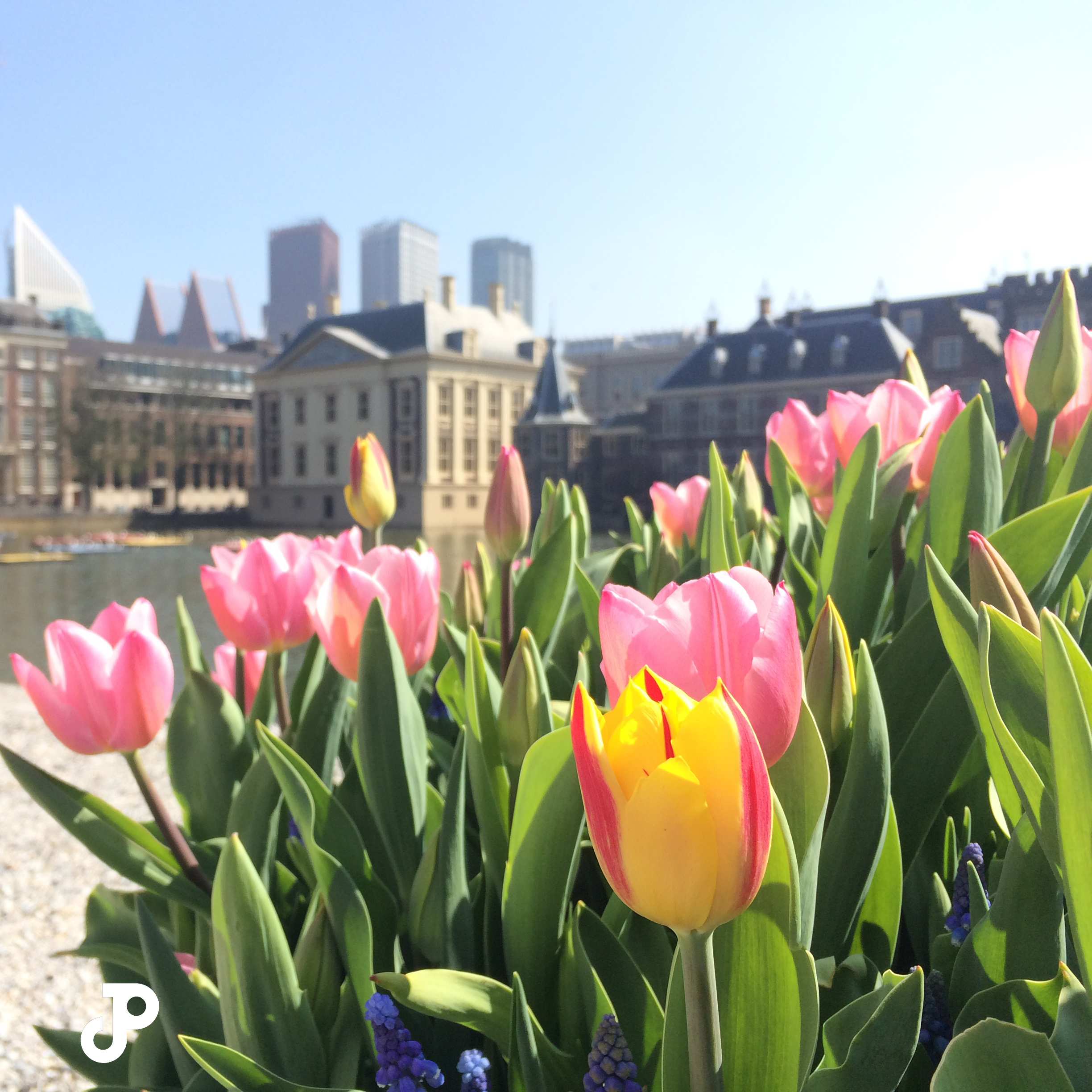 pink and yellow tulips, with the Mauritshuis Museum visible in the background